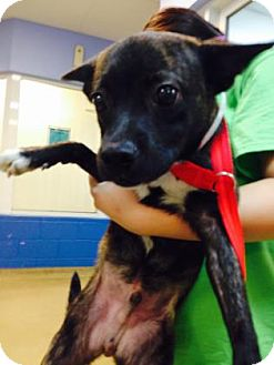 Terrier (Unknown Type, Small)/Boston Terrier Mix Puppy for adoption in Miami, Florida - Mars