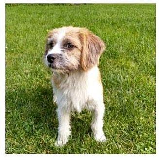 Shih Tzu Mix Dog for adoption in Livonia, Michigan - Tiffany