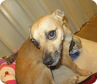 Chihuahua Mix Dog for adoption in Lubbock, Texas - Chicago