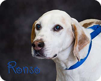 Coonhound/Pointer Mix Dog for adoption in Somerset, Pennsylvania - Ronso