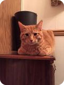 Domestic Shorthair Cat for adoption in Breinigsville, Pennsylvania - Kevin