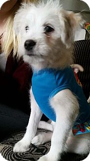 Westie, West Highland White Terrier Mix Puppy for adoption in Alliance, Nebraska - Bowie