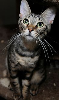 Domestic Shorthair Cat for adoption in Ashland, Ohio - Batty