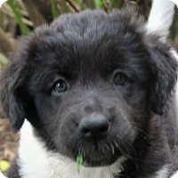Adopt A Pet :: Ziva - Minneapolis, MN