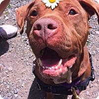 Adopt A Pet :: Marvelous Mowgie - Issaquah, WA