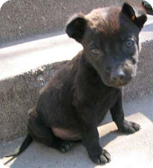 Labrador Retriever Puppy for adoption in Garland, Texas - Runt