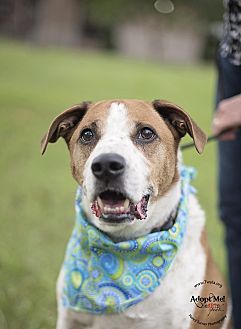 Catahoula Leopard Dog/Hound (Unknown Type) Mix Dog for adoption in Kingwood, Texas - Tex