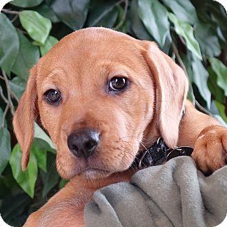 Terrier (Unknown Type, Medium)/Hound (Unknown Type) Mix Puppy for adoption in Columbia, Illinois - Harriet