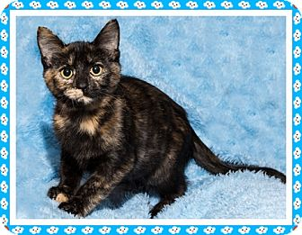Domestic Shorthair Kitten for adoption in Mt. Prospect, Illinois - Sally