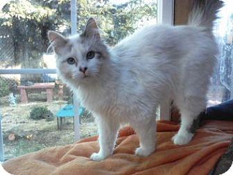 Siamese Cat for adoption in Vacaville, California - Princess Clarice