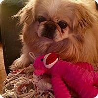 Adopt A Pet :: Sophie - Portland, ME