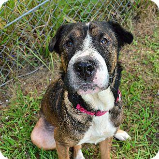 Shar Pei/Hound (Unknown Type) Mix Dog for adoption in Brooksville, Florida - POPPY
