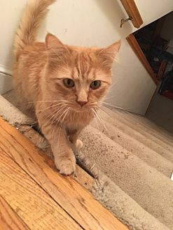 Somali Cat for adoption in Fairfax, Virginia - Lucky