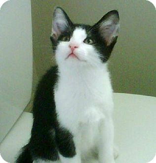Domestic Shorthair Kitten for adoption in Marlton, New Jersey - Courage