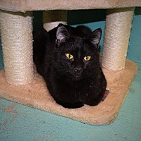 Domestic Mediumhair Cat for adoption in Pottsville, Pennsylvania - Indiana