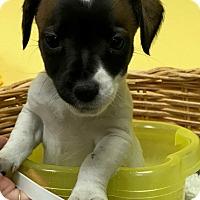 Adopt A Pet :: Gidget - Decatur, AL