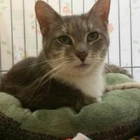 Adopt A Pet :: Schnitzel - Munster, IN