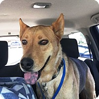 Adopt A Pet :: Harold - Sweet and loveable - Federal Way, WA