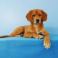 Adopt A Pet :: Lottie - La Mirada, CA