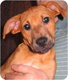 Dachshund/Chihuahua Mix Dog for adoption in Cincinnati, Ohio - Tinkerbell
