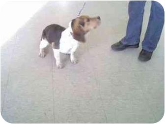Beagle Dog for adoption in Higginsville, Missouri - unknown