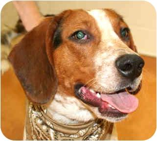 Hound (Unknown Type) Mix Dog for adoption in Cincinnati, Ohio - Merle