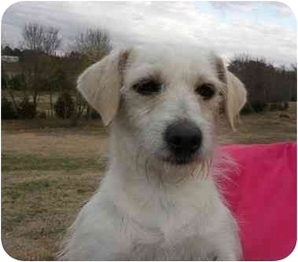 Fox Terrier (Wirehaired)/Cairn Terrier Mix Dog for adoption in New Fairfield, Connecticut - Thelma