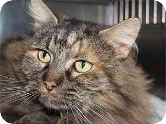 Domestic Mediumhair Cat for adoption in El Cajon, California - Fluffy