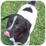 Photo 3 - Labrador Retriever/Pointer Mix Puppy for adoption in Hammonton, New Jersey - Berta's #2 boy