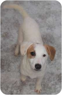 Australian Cattle Dog/Australian Shepherd Mix Puppy for adoption in Coudersport, Pennsylvania - Portia