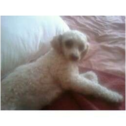 Poodle (Toy or Tea Cup) Dog for adoption in Pembroke pInes, Florida - Emma