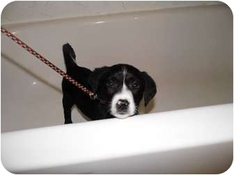 Labrador Retriever Mix Puppy for adoption in Bel Air, Maryland - Panda