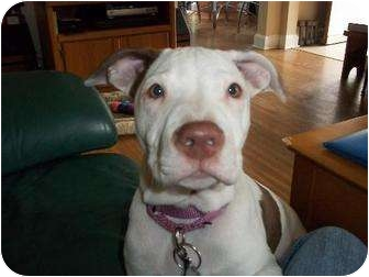 American Pit Bull Terrier Mix Puppy for adoption in Rochester, New York - Tessie