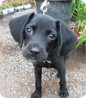 Terrier (Unknown Type, Small)/Beagle Mix Puppy for adoption in El Cajon, California - NEWTON