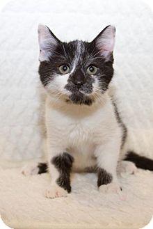Domestic Shorthair Kitten for adoption in Irvine, California - Sandy