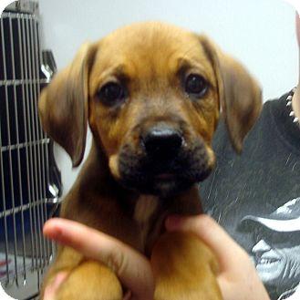 Boxer Mix Puppy for adoption in Manassas, Virginia - Rosa