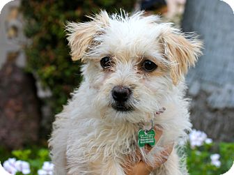 Poodle (Miniature)/Terrier (Unknown Type, Small) Mix Puppy for adoption in Los Angeles, California - Violetta