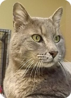 Domestic Shorthair Cat for adoption in Grants Pass, Oregon - Stuart