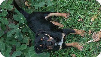 Terrier (Unknown Type, Medium) Mix Dog for adoption in Schertz, Texas - Porkey