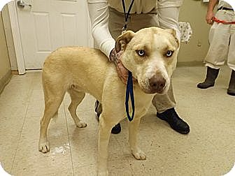 Husky/Labrador Retriever Mix Dog for adoption in Laingsburg, Michigan - Sky
