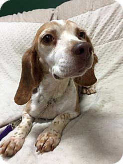 Beagle Dog for adoption in Maryville, Missouri - Tammy