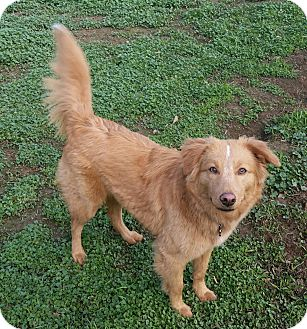 Border Collie/Golden Retriever Mix Dog for adoption in Lafayette, California - Paris