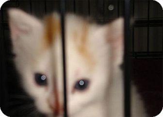 Domestic Shorthair Cat for adoption in Wakefield, Massachusetts - Magnolia
