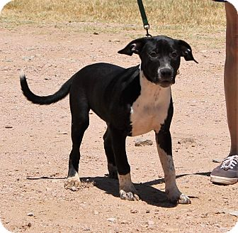 Border Collie/Staffordshire Bull Terrier Mix Puppy for adoption in Marble Falls, Texas - Susie