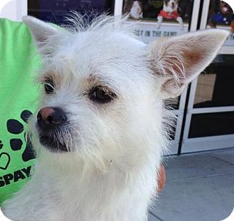 Terrier (Unknown Type, Small)/Chihuahua Mix Dog for adoption in Olive Branch, Mississippi - Vinnie