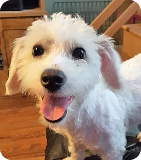Poodle (Miniature)/Bichon Frise Mix Puppy for adoption in Rockford, Illinois - Stella