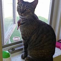 Domestic Shorthair Cat for adoption in Owenboro, Kentucky - STAR