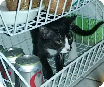 Domestic Shorthair Kitten for adoption in Coppell, Texas - Simon the Kisser