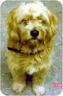 Wheaten Terrier Mix Dog for adoption in dewey, Arizona - Bubba
