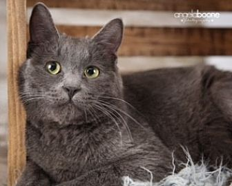 Manx Cat for adoption in Minneapolis, Minnesota - Gideon (Manx Syndrome)